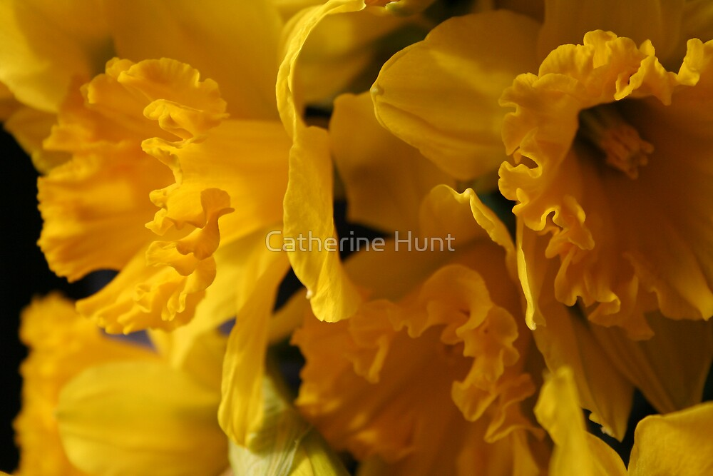 Daffodils by Catherine Hunt
