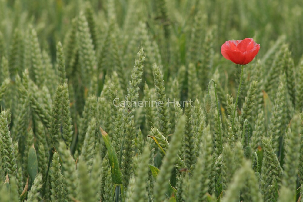 Poppies in a wheat field by Catherine Hunt
