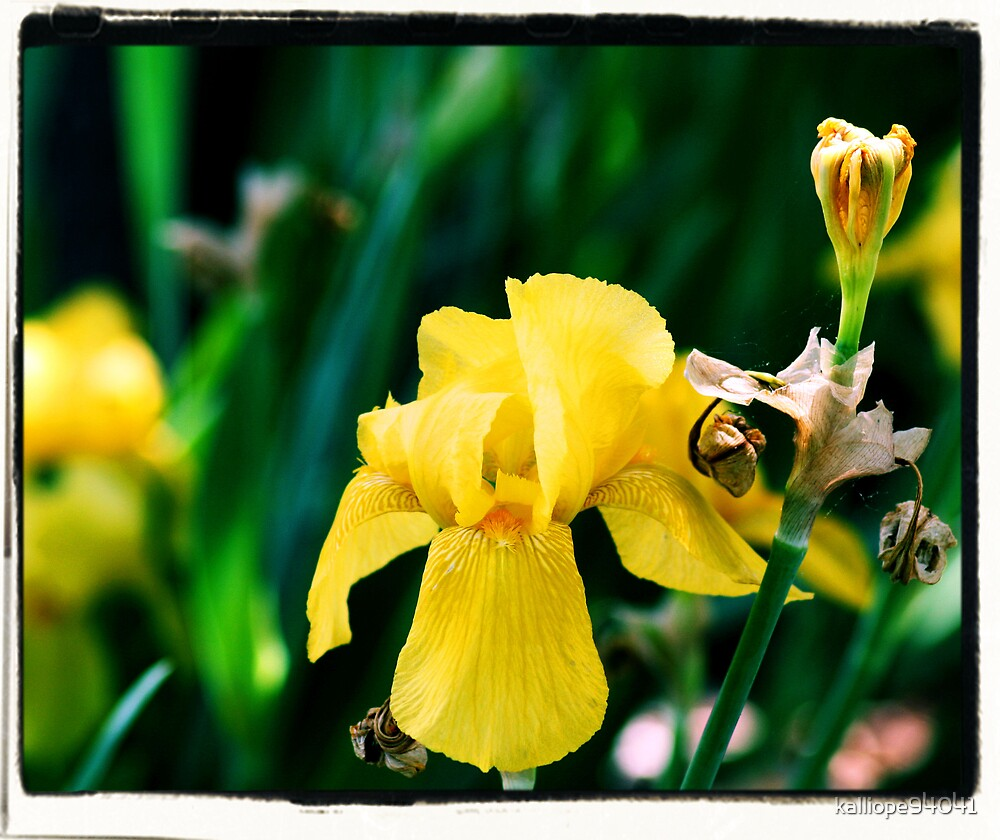 Yellow Iris Version 2 by kalliope94041
