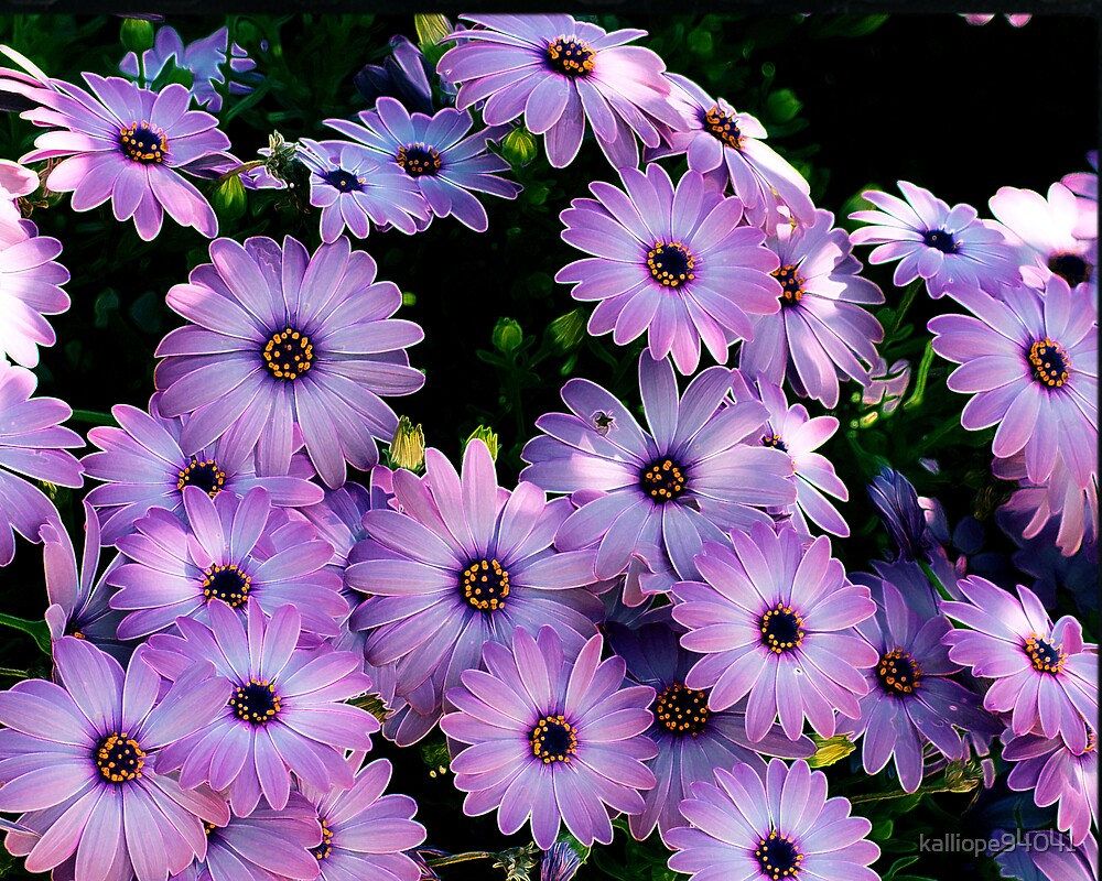 African Daisies by kalliope94041