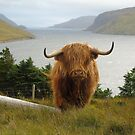 Highland Cow  by jmnicolson