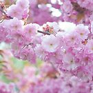 Blooming Branch of Kwanzan Cherry by JennyRainbow