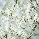 White Bloom of  Cherry Plum Tree  by JennyRainbow
