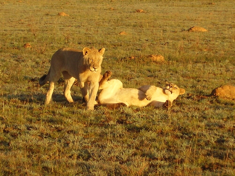 Lions in the Early Morning  by HelenBanham
