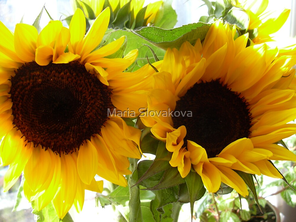 Lady Sunflowers by Maria Slovakova