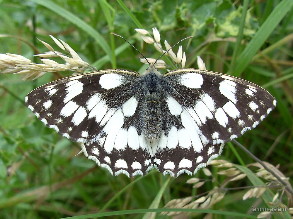 Marbled White Butterfly by iammeasiam