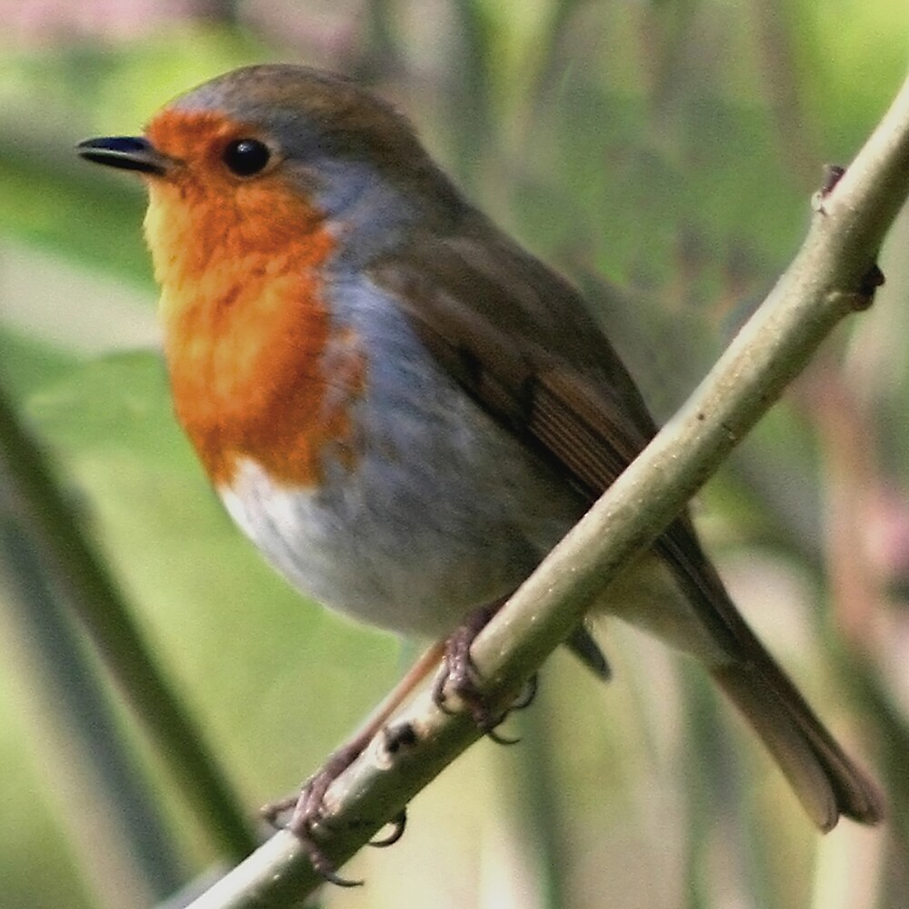 Winter Robin by Chris Clark