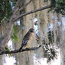 Red Shouldered Hawk by Rosalie Scanlon