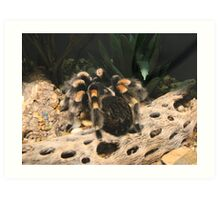 Red Knee Tarantula Art Print