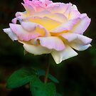 Summer Shower Rose by Gregory J Summers