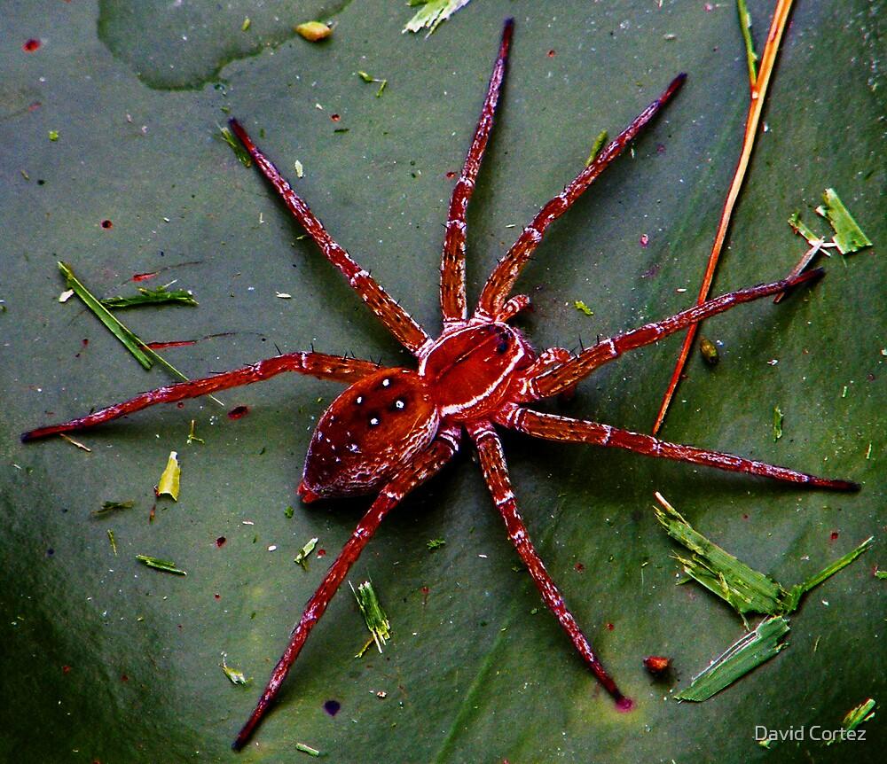 Huntsmen Spider by David Cortez