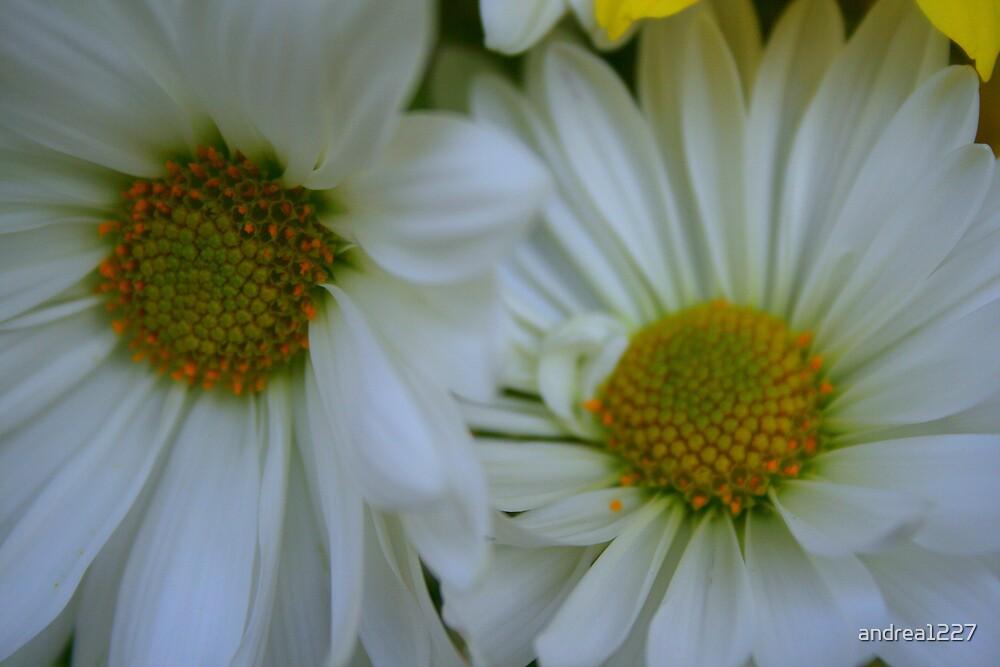 White Daisy by andrea1227