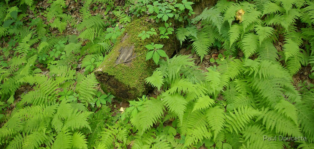 Log and Ferns by Paul Doucette