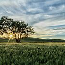 Lone Tree in the Palouse by LauraZim