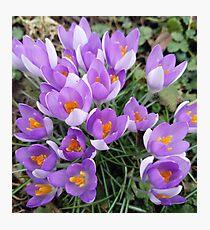 Spring Crocus in Bloom Photographic Print