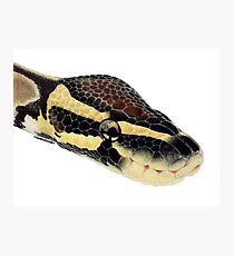 Ball Python Photographic Print