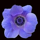 Dreamy Blue Anemone On Black Background by BlueMoonRose