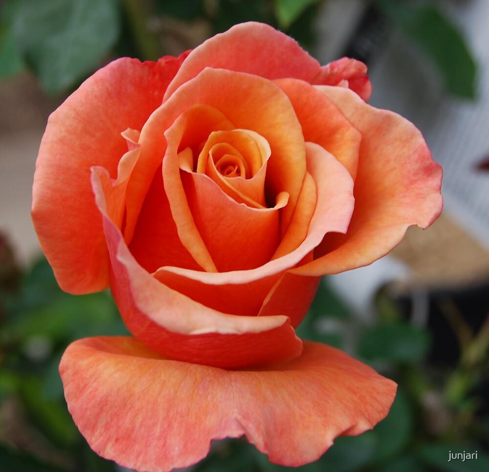 A Rose is a Rose  by junjari