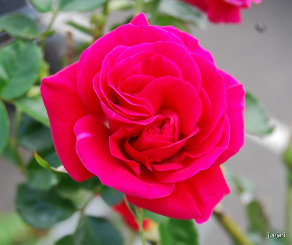 Red Rose by junjari