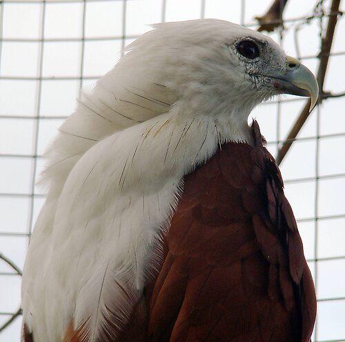 Philippine eagle by Jelynn
