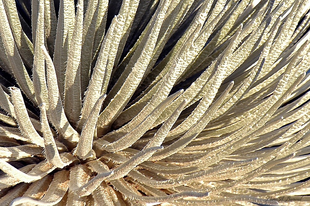 Soft Silversword Fingers by Maria A. Barnowl