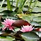 *AVATAR/Water Lily - Gorgeous Flower Cards*