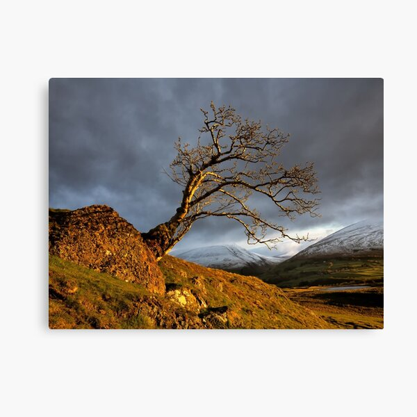 Low Rigg Lone Tree Golden Hour Canvas Print
