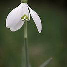 Snowdrop  by JEZ22