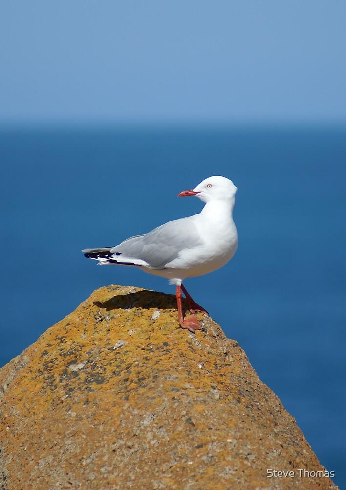 Gull by Steve Thomas