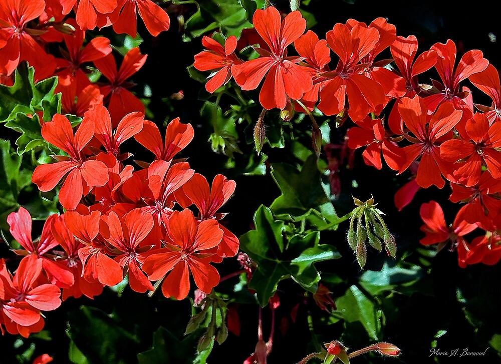 Geraniums by Maria A. Barnowl