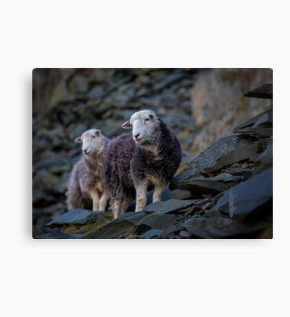 Herdwick Sheep At Honister Pass Canvas Print