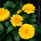Yellow Chrysanthemum III by Gary L   Suddath