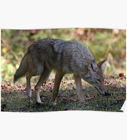 Coyote Poster