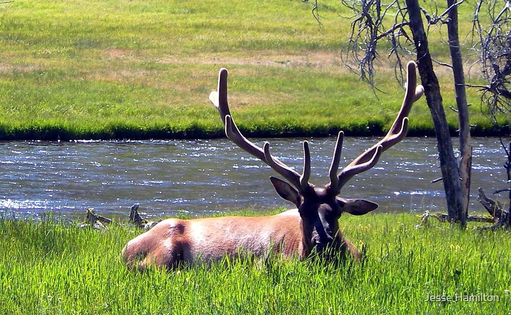 Yellowstone Elk by Jesse Hamilton