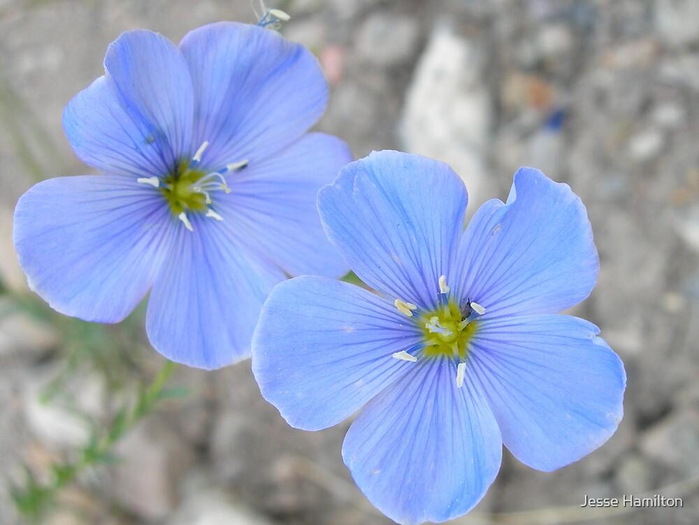 Blue flowers by Jesse Hamilton
