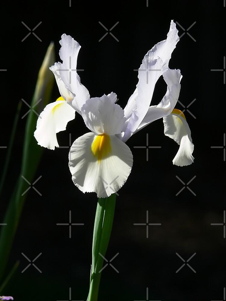 White Iris by Sandra Chung