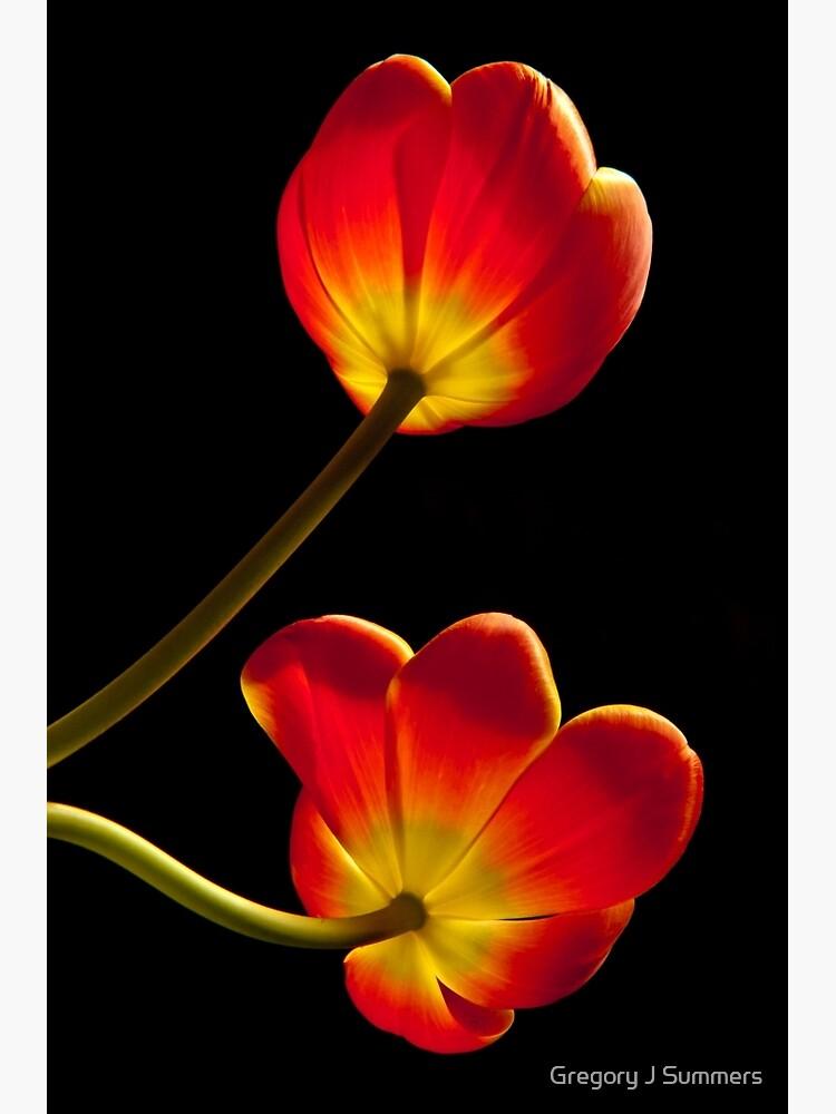 Tulips Glow by nikongreg