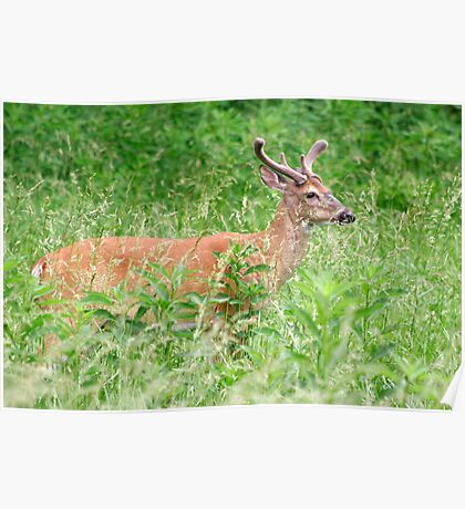 Deer In A Field Poster