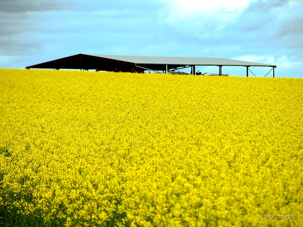 land of canola by meerimages