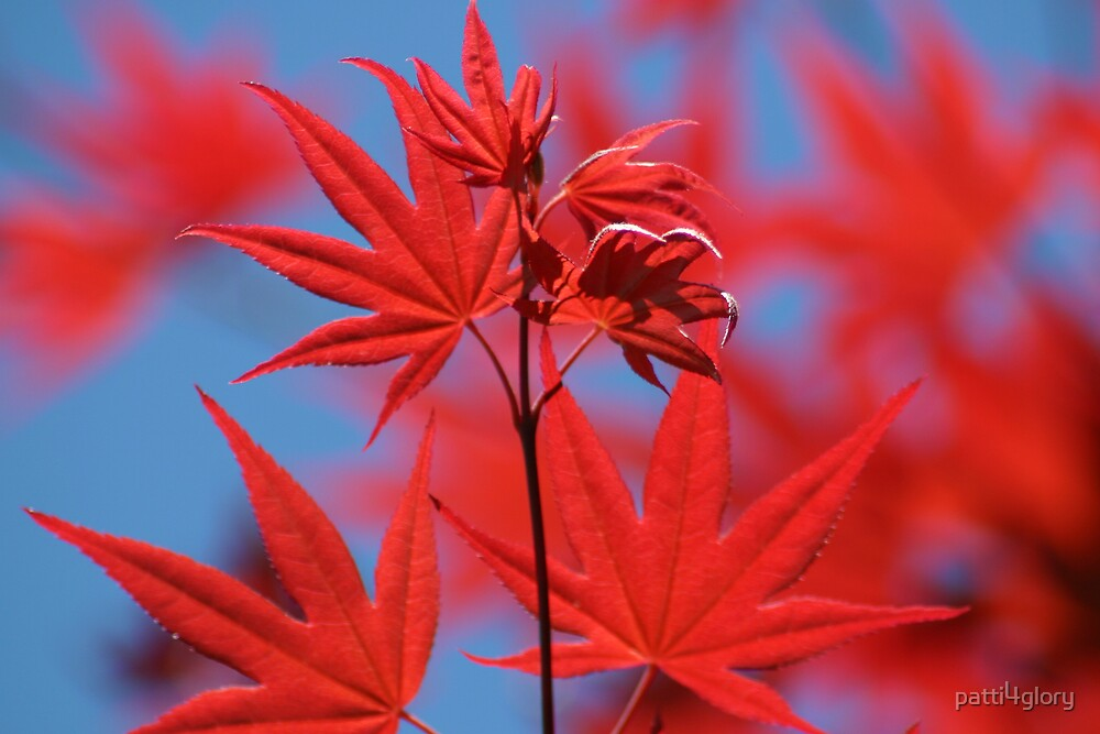 Red Maple on Blue Sky by patti4glory