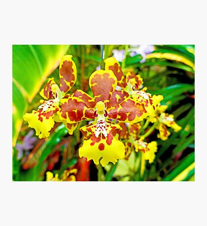 Orchid Study 7  Photographic Print