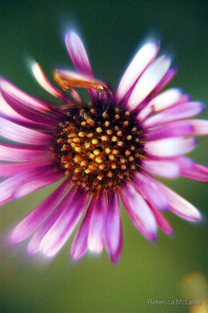 Daisy Days by Rebecca McLean