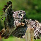 Great Grey Owl by JamieP