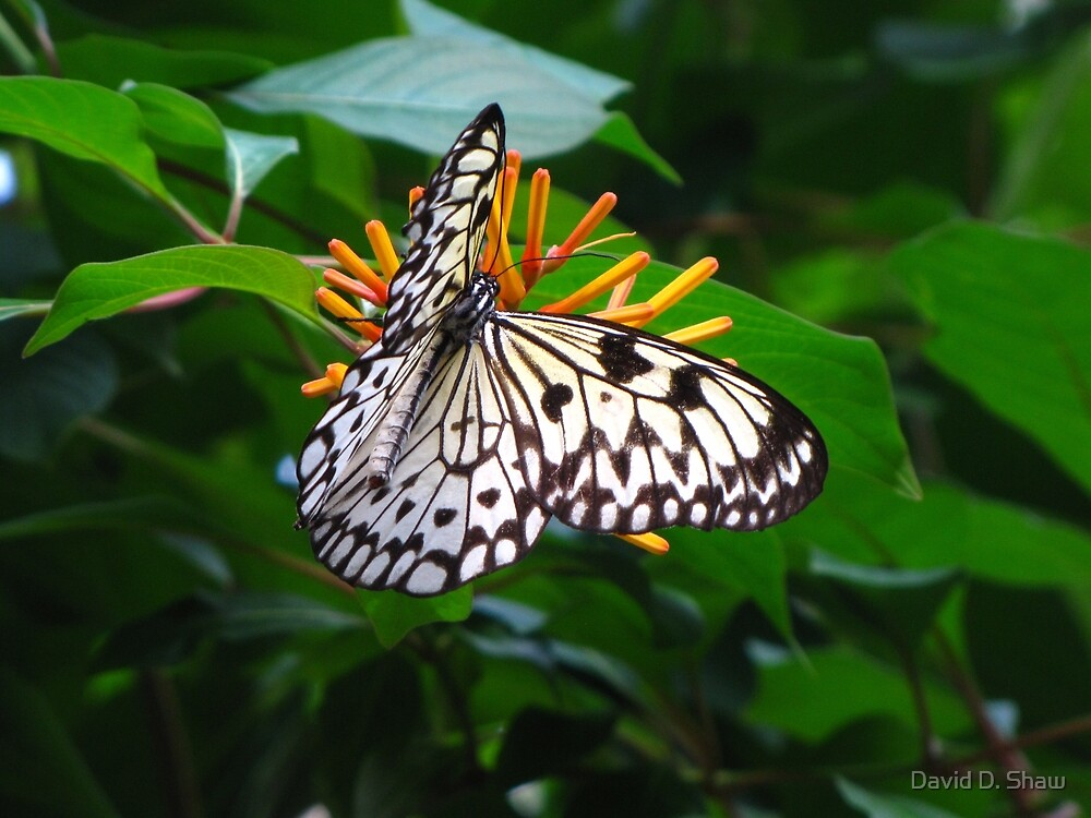 Butterfly by David Shaw