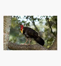 Brush Turkey Photographic Print