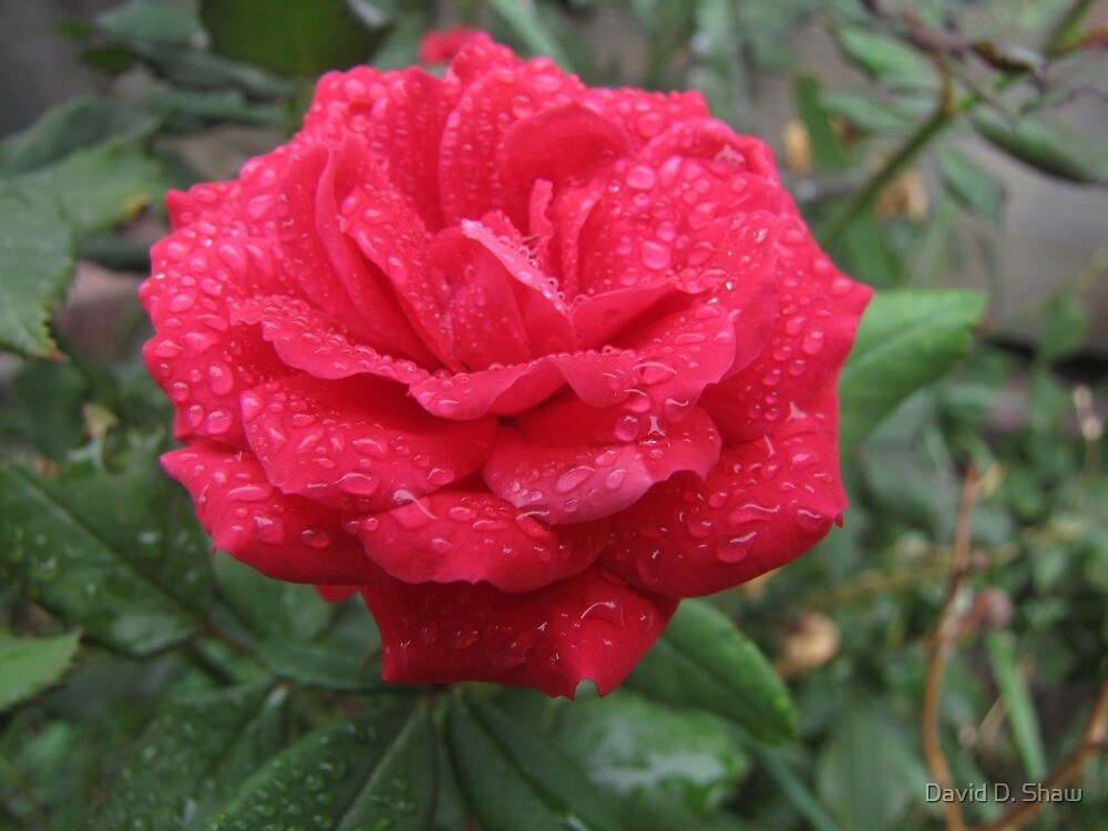 Red Rose in the Rain by David Shaw