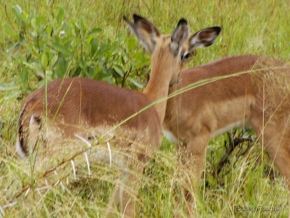 impala  by Rodney  Roughan