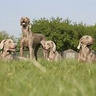 Weimaraner Family by Moth