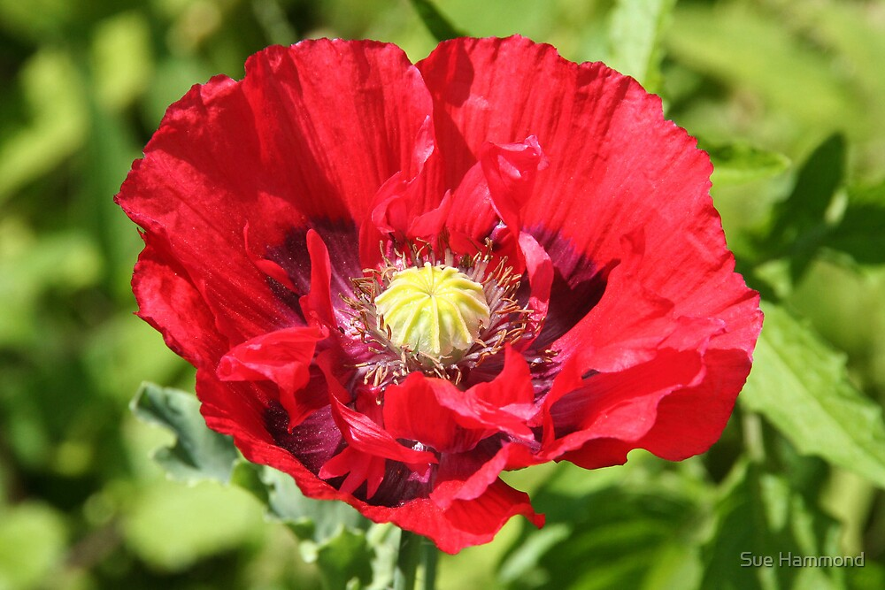 Big poppy by Sue Hammond