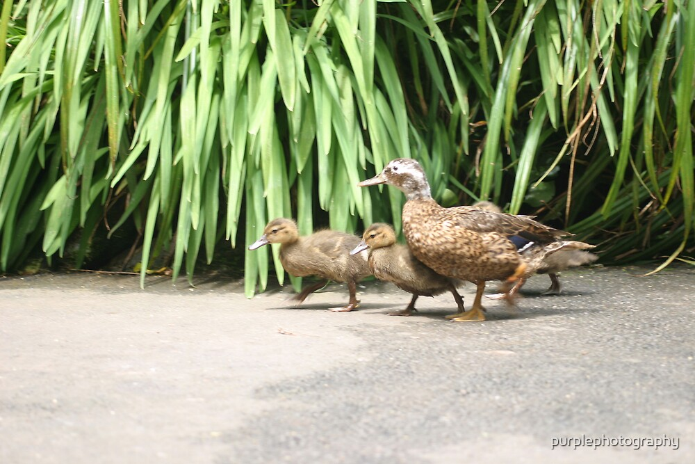 Duck Family by purplephotography